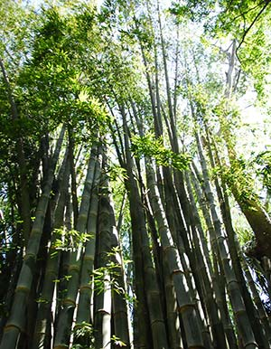 Costa Rica Green Bamboo