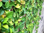 Small leafed tropical climbing vine